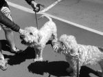 291014, Louis the Wheaten Terrier (and litter brother to my own dog, Chewie, also pictured), Re:Start, Chch
